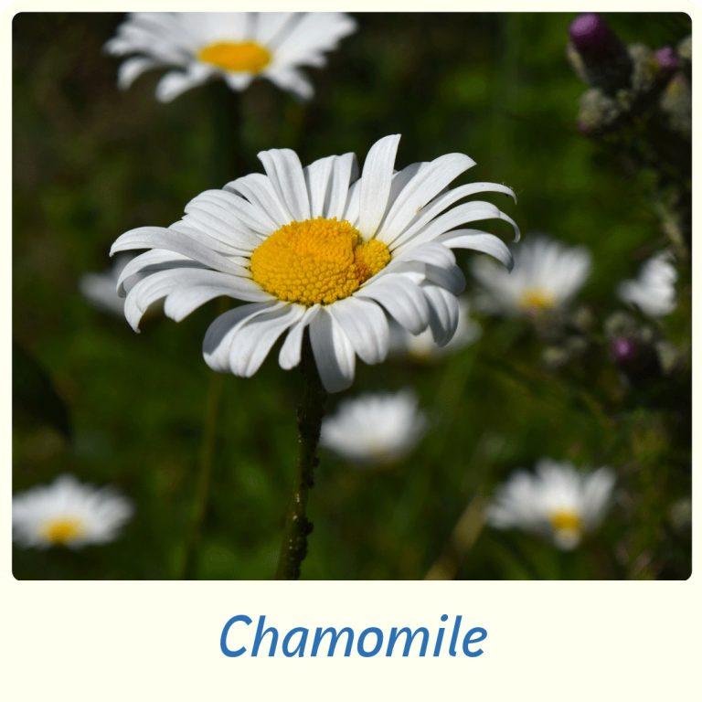 Helps relieve mild digestive disturbances (such as dyspepsia, nausea, flatulence)